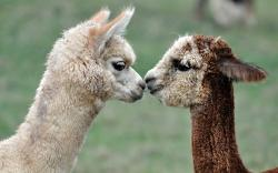 Lovely Alpacas