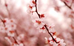 spring white cherry blossom twig wide hd wallpaper is a lovely background.