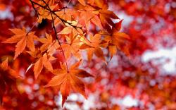 Lovely Red Leaves Wallpaper