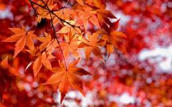 Lovely Red Leaves Wallpaper