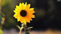 Lovely Sunflower Wallpaper