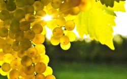 yellow grapes sunlight wide hd wallpaper is a lovely background.