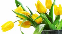 Pretty Yellow Tulip Wallpaper 45386 1920x1200 px. Category: Flowers Resolution: 1920x1200px