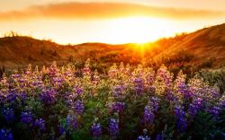 Lupines sunset scenery