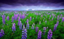 Lupinus flower field