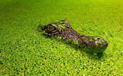 Lurking Croc