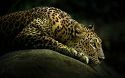 Lurking Leopard
