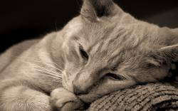 Lying cat hd