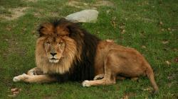 2048x1152 Wallpaper lion, lying, grass, mane, big cat, predator