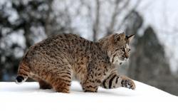 Lynx Wallpaper 3819