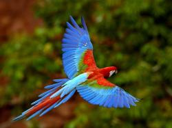 Scarlet and Blue Macaw