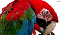 Scarlet Macaw wallpaper 1920x1080