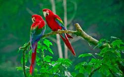 ... Scarlet-Macaw-image-3 ...