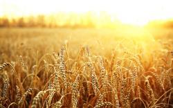 Macro Field Wheat Sun