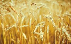 Macro Nature Wheat Spikes Field