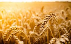 Macro Wheat Field Sun Nature
