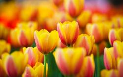 Macro Tulips Flowers Nature