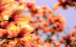 Magnolia flowers blurred