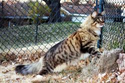 Pinned Maine Coon Weight Chart