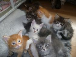 Maine Coon Cat Kittens For