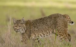 ... Bobcat Wallpaper · Bobcat Wallpaper