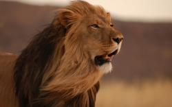 Male lion hd