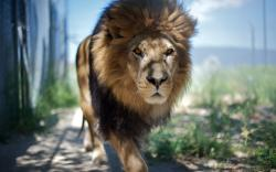 Majestic Male Lion