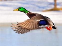 Mallard Duck Pictures ...