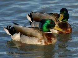 Mallard Green Head Ducks HD Wallpaper