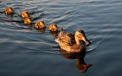 mallard duck and family bird