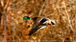 Mallard Duck Drake in Flight Download 24 ...