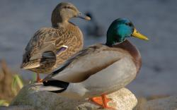Animal world birds ducks mallard nature 2560x1600