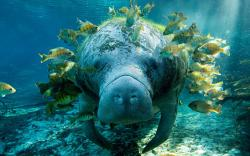 Manatee Wallpapers Pictures