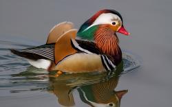 Mandarin Duck Lake