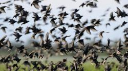 Many Starlings Black Birds Beautiful Nature Wallpapers