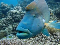 ... Bump Head Maori Wrasse | by Jaybre