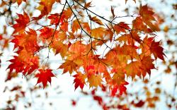 Autumn branch red maple leaves wallpaper 1920x1200.