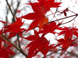 Autumn Blaze Red Maple Leaf Autumn Blaze Red Maple Leaf pics