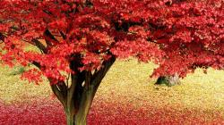 Maple Tree Autumn Hd Images 3 HD Wallpapers