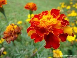 Red Marigold Flower Photograph