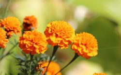 Marigold Wallpaper 29886