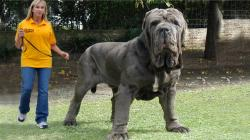 BIG English Mastiff ! World's biggest dog