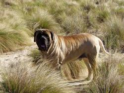 English Mastiff Wallpapers8
