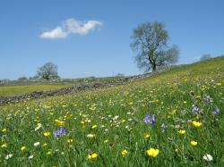 Bluebells and Bulbous Buttercups.