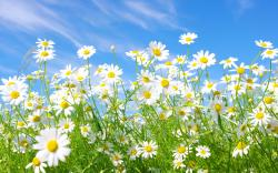 Daisies Meadow Wallpaper in 2560x1600 Widescreen