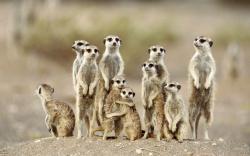 Meerkat Wallpapers Meerkat Photos