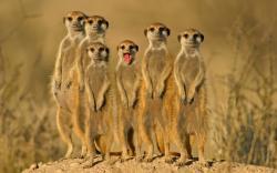 HD Wallpaper   Background ID:347251. 1920x1200 Animal Meerkat