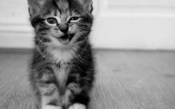 Meow Kitty Wallpapers Pictures Photos Images. «