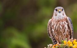 Merlin Bird Falco Columbarius