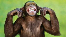 Monkey Wallpaper (11)